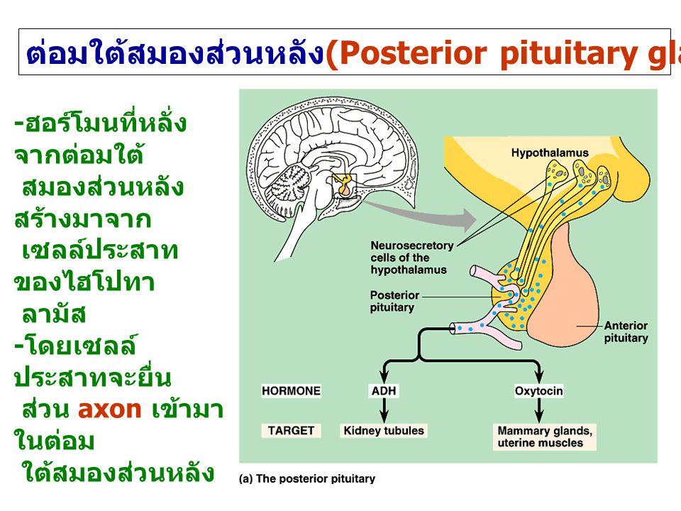 ต่อมใต้สมองส่วนหลัง (Posterior pituitary gland or neurohypophysis) - ฮอร์โมนที่หลั่ง จากต่อมใต้ สมองส่วนหลัง สร้างมาจาก เซลล์ประสาท ของไฮโปทา ลามัส - โดยเซลล์ ประสาทจะยื่น ส่วน axon เข้ามา ในต่อม ใต้สมองส่วนหลัง