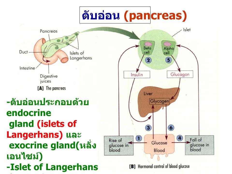 ตับอ่อน (pancreas) - ตับอ่อนประกอบด้วย endocrine gland (islets of Langerhans) และ exocrine gland( หลั่ง เอนไซม์ ) -Islet of Langerhans ประกอบด้วย alpha cells( หลั่ง glucagon) และ beta cells ( หลั่ง insulin)