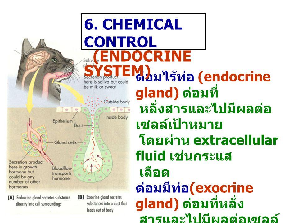 ต่อมไร้ท่อ (endocrine gland) ต่อมที่ หลั่งสารและไปมีผลต่อ เซลล์เป้าหมาย โดยผ่าน extracellular fluid เช่นกระแส เลือด ต่อมมีท่อ (exocrine gland) ต่อมที่หลั่ง สารและไปมีผลต่อเซลล์ เป้าหมายโดย ผ่านท่อ 6.