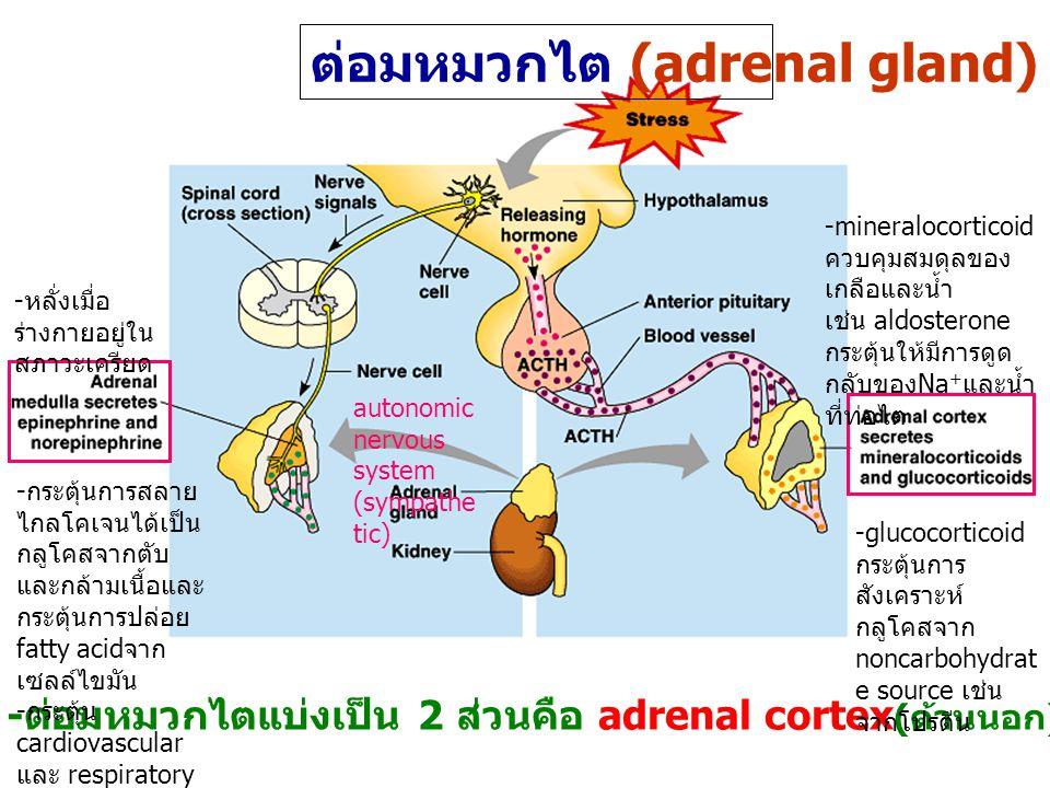 ต่อมหมวกไต (adrenal gland) - ต่อมหมวกไตแบ่งเป็น 2 ส่วนคือ adrenal cortex ( ด้านนอก ) และ adrenal medulla ( ตรงกลาง ) - กระตุ้นการสลาย ไกลโคเจนได้เป็น