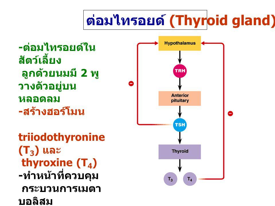 ต่อมไทรอยด์ (Thyroid gland) - ต่อมไทรอยด์ใน สัตว์เลี้ยง ลูกด้วยนมมี 2 พู วางตัวอยู่บน หลอดลม - สร้างฮอร์โมน triiodothyronine (T 3 ) และ thyroxine (T 4 ) - ทำหน้าที่ควบคุม กระบวนการเมตา บอลิสม - ควบคุมการสร้าง โดย TSH