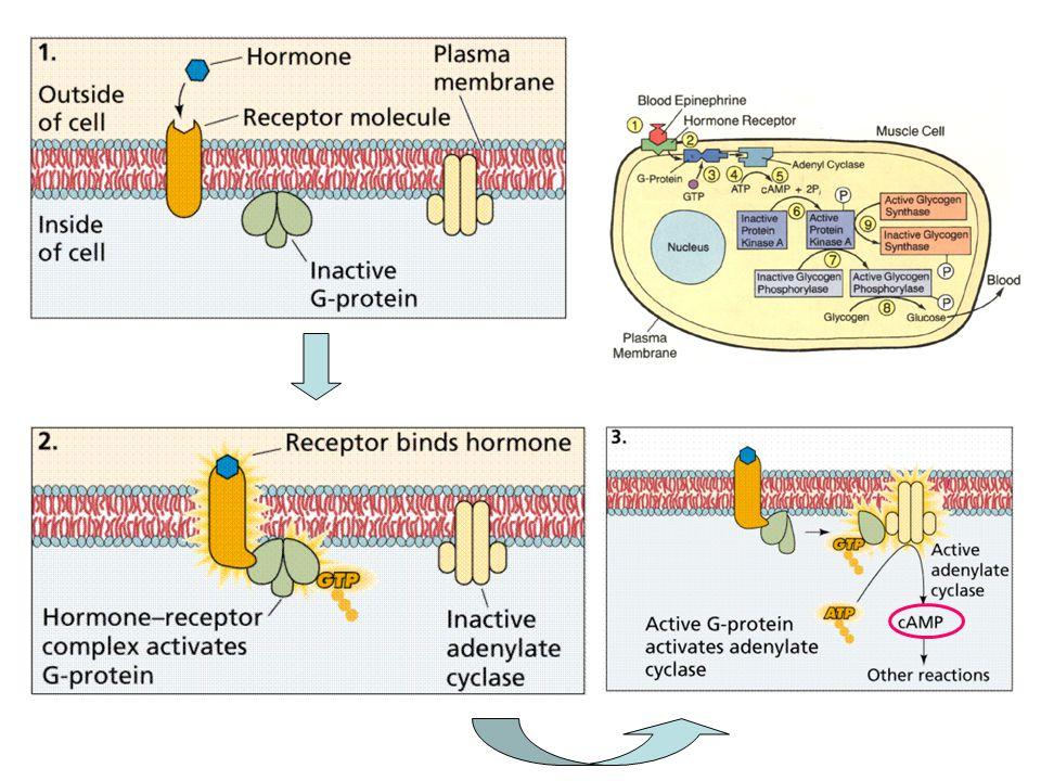 1.2 Ca 2+ และ inositol triphosphate (IP 3 ) enzyme=phospholipase C PIP2=phosphatidylinositol biphosphate IP3=inositol triphosphate DAG=diacylglycerol