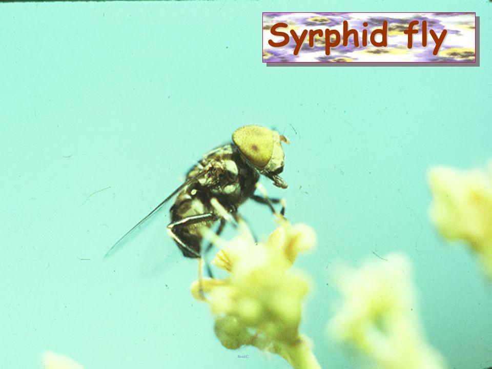 Syrphid larva vs Lipaphis