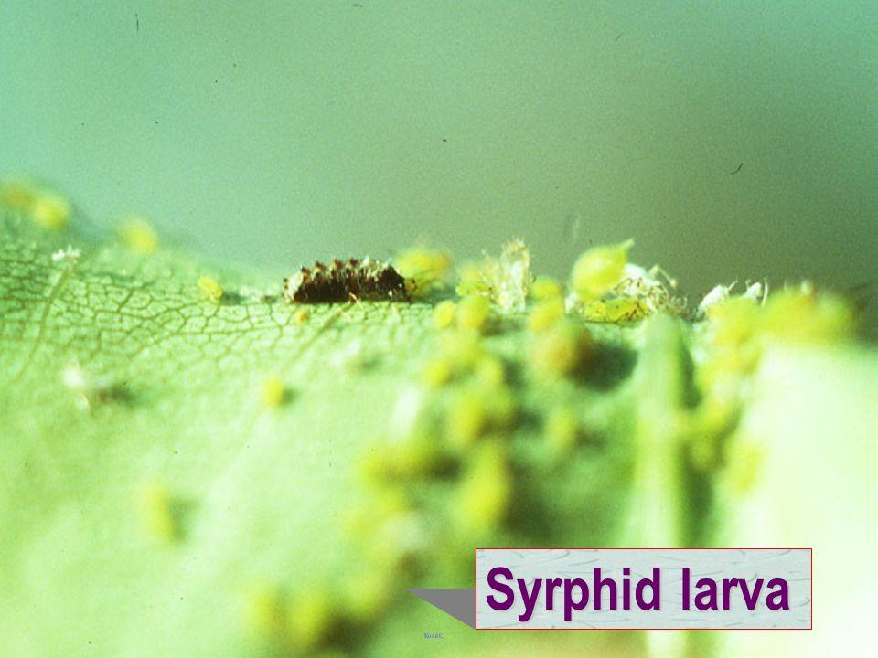 Syrphid larva