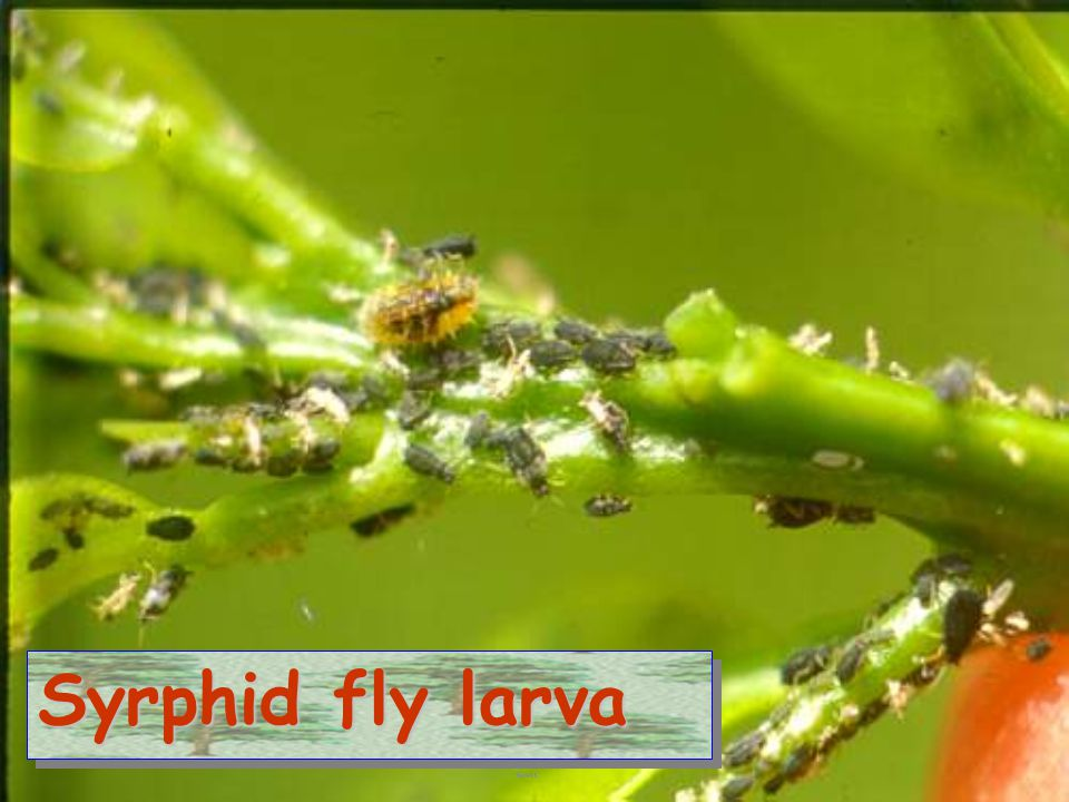 Syrphid vs peach aphid
