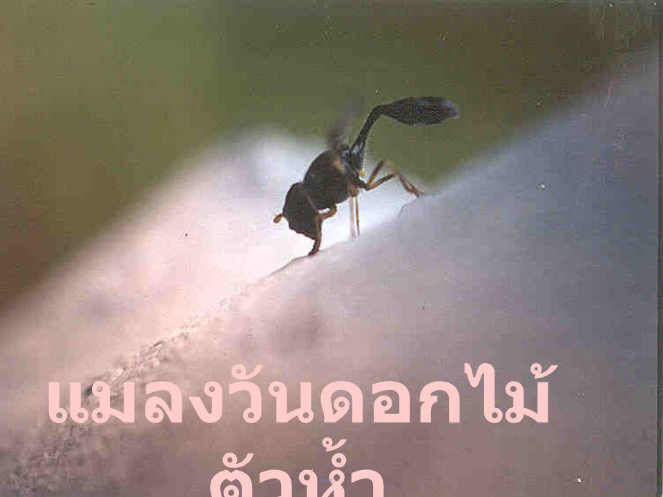 ตัวห้ำ 4 แมลงวัน DIPTEROUS PREDATORS (Kosol Charernsom: Tel. 0-3428-1265; Fax. 0-3435- 1881. Home 0-2573-2369; 0-9987-5229)