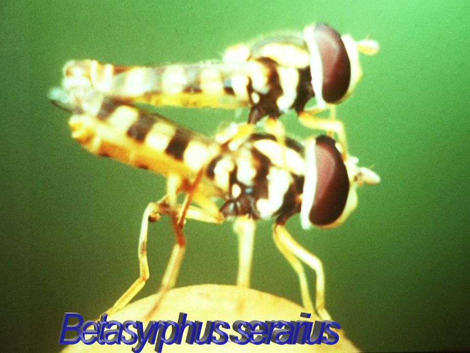 Axorus sp. sticky syrphid