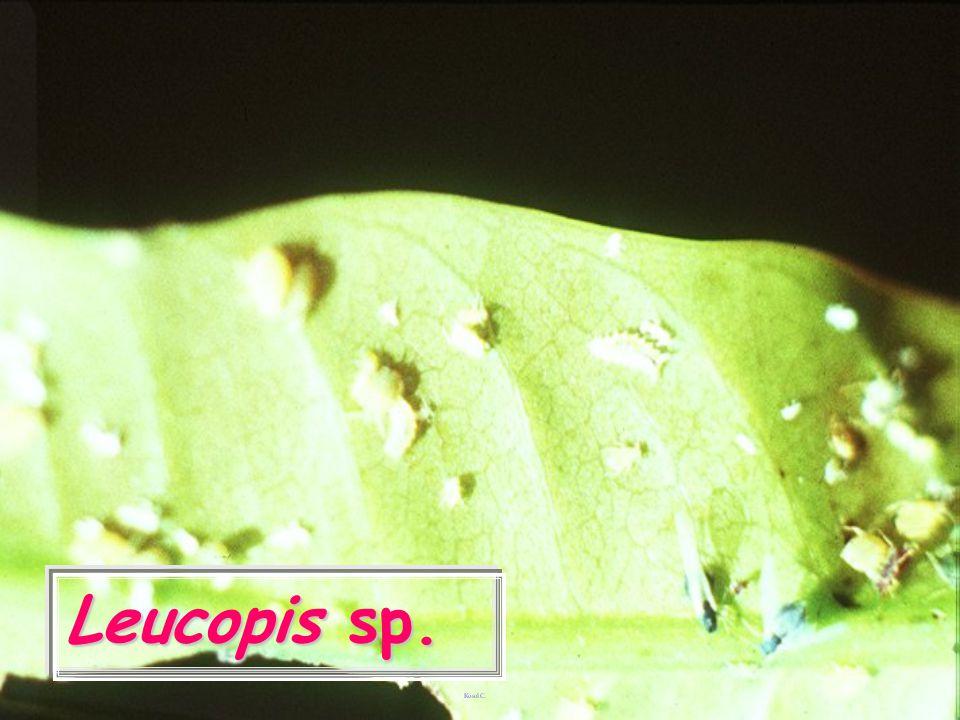 Leucopis puncticornis
