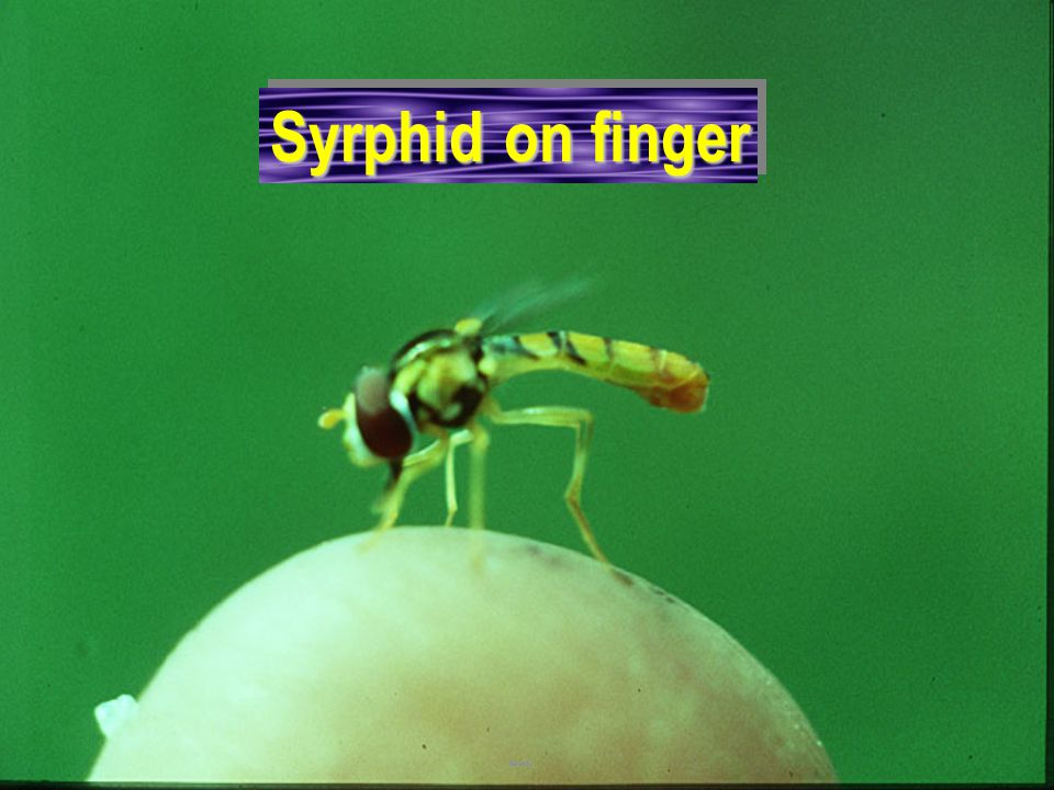 Syrphid on finger