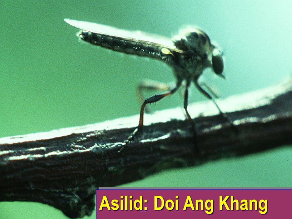 Asilid vs cicadellid