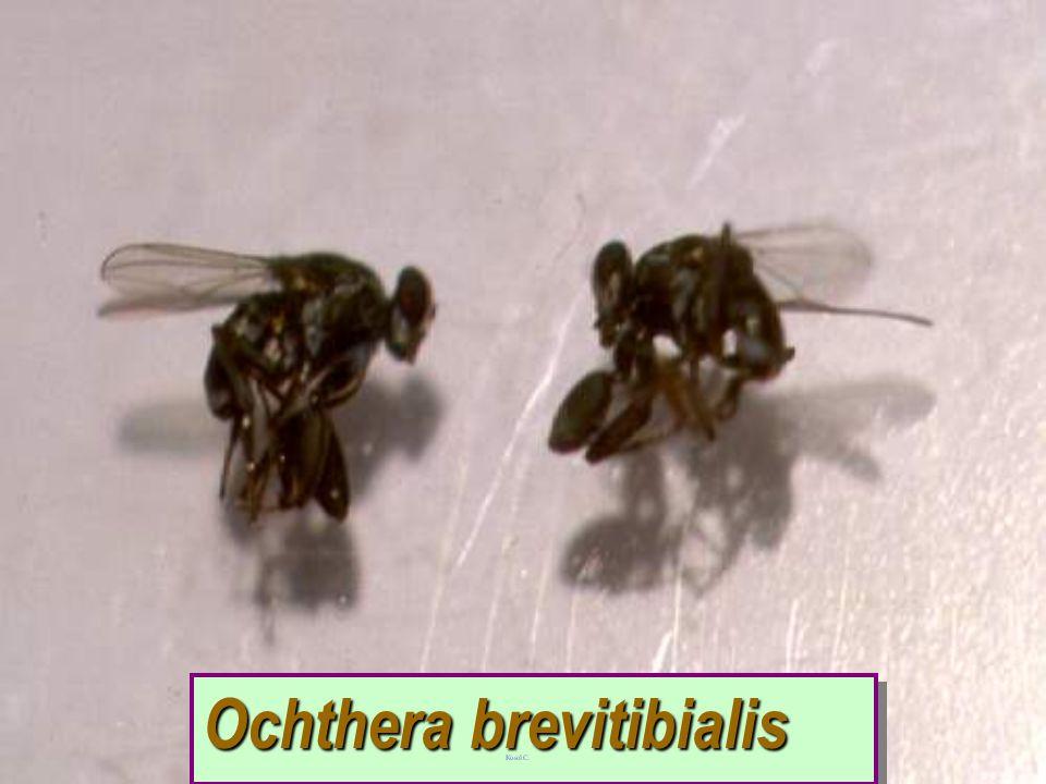 Ceratopogonid vs Jacobiasca