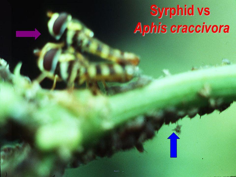 Syrphid sticky larva
