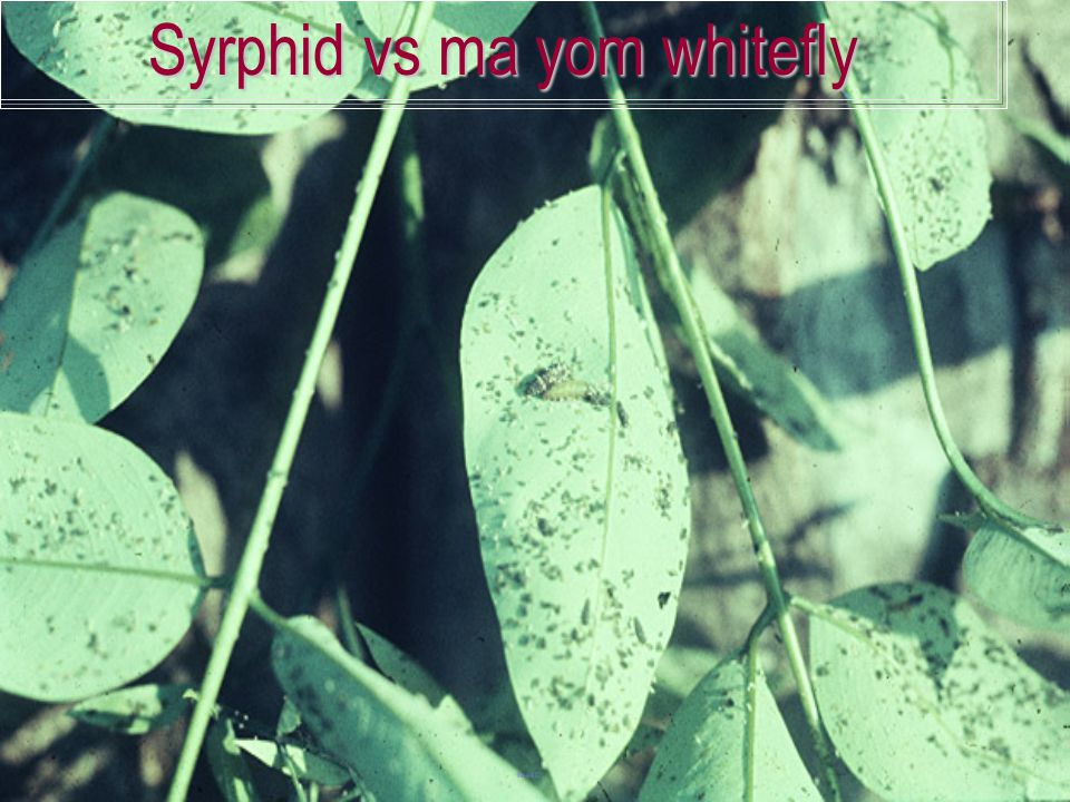 Syrphid vs ma yom whitefly
