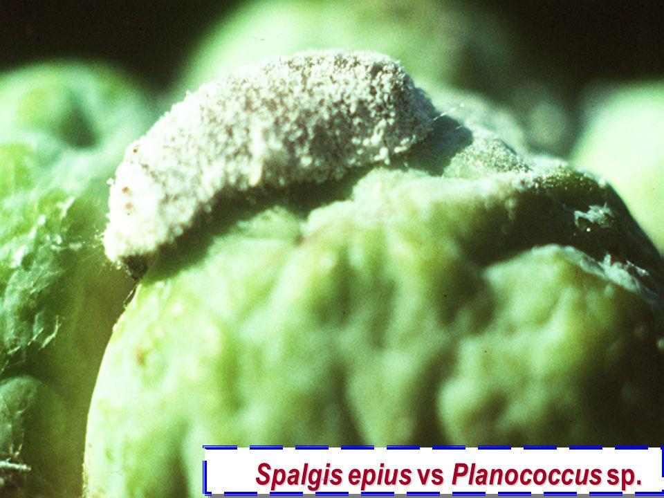 Spalgis epius