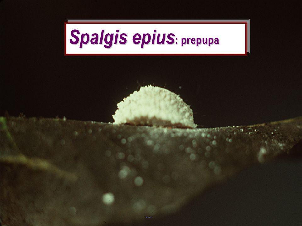 Spalgis epius nobilus