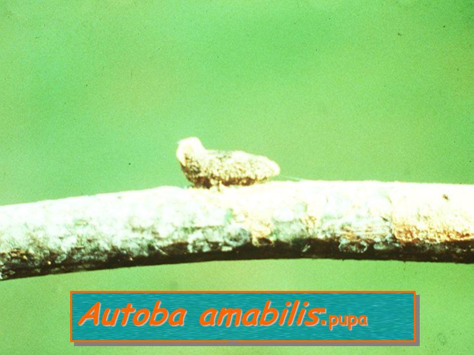 Autoba amabilis: larva หนอนกินเพลี้ยหอย