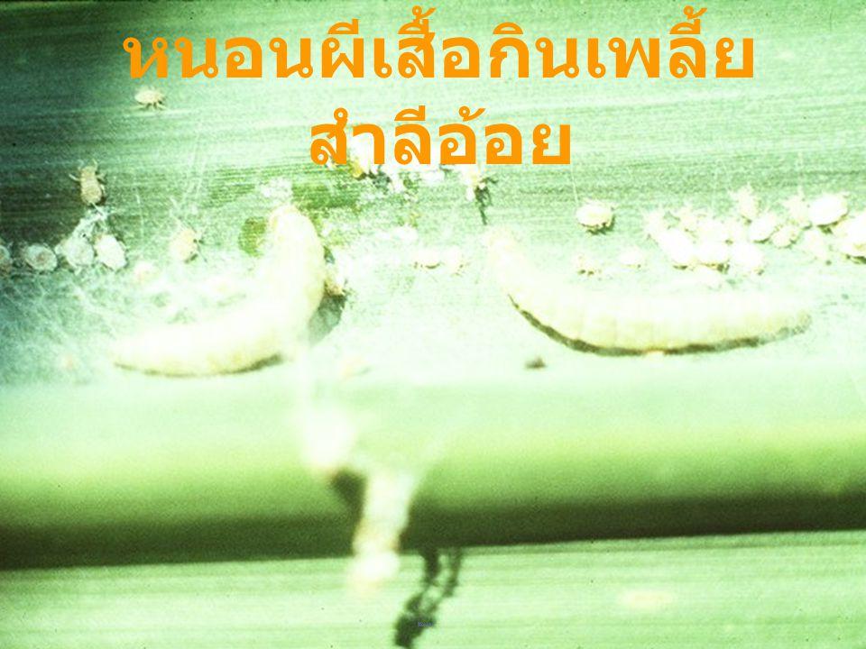 Autoba amabilis: larva หนอนกินครั่ง