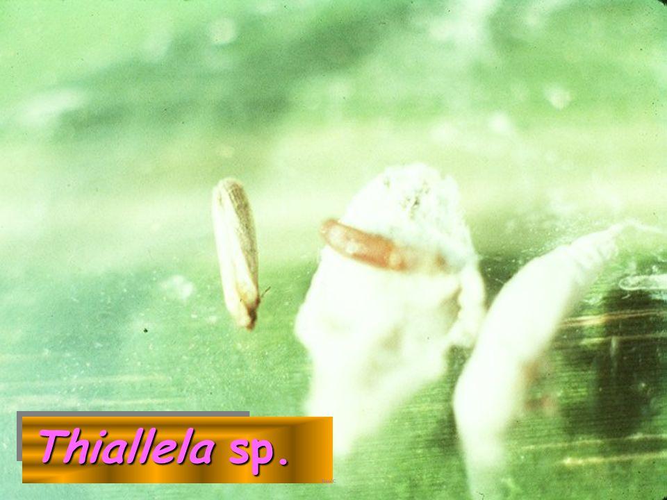 Thiallela sp.: pupa