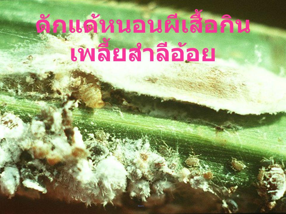 Spalgis epius : Larva