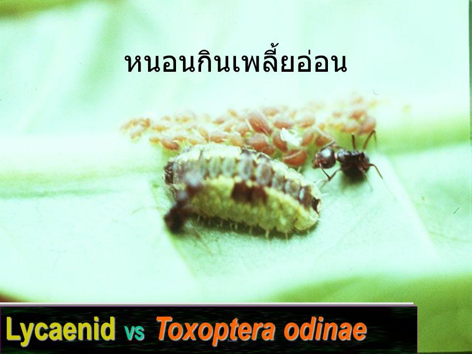 Lycaenid VS Toxoptera odinae หนอนกินเพลี้ยอ่อน