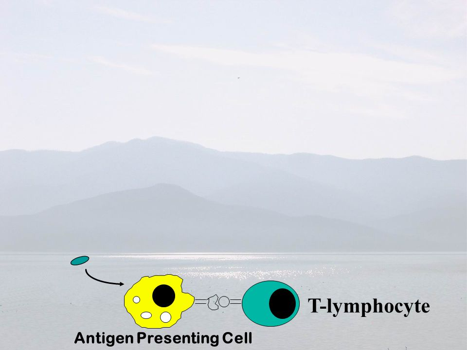 Antigen Presenting Cell Antigen
