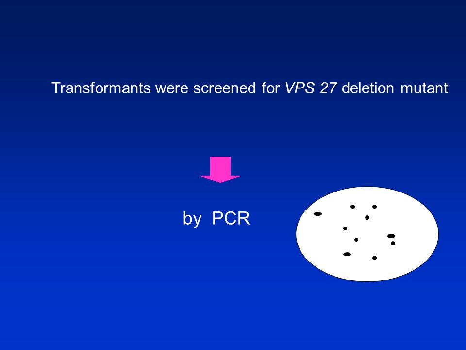 Transformants were screened for VPS 27 deletion mutant by PCR