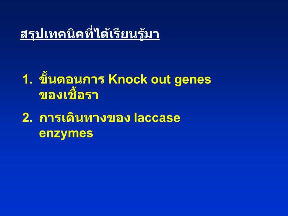 สรุปเทคนิคที่ได้เรียนรู้มา 1.ขั้นตอนการ Knock out genes ของเชื้อรา 2.