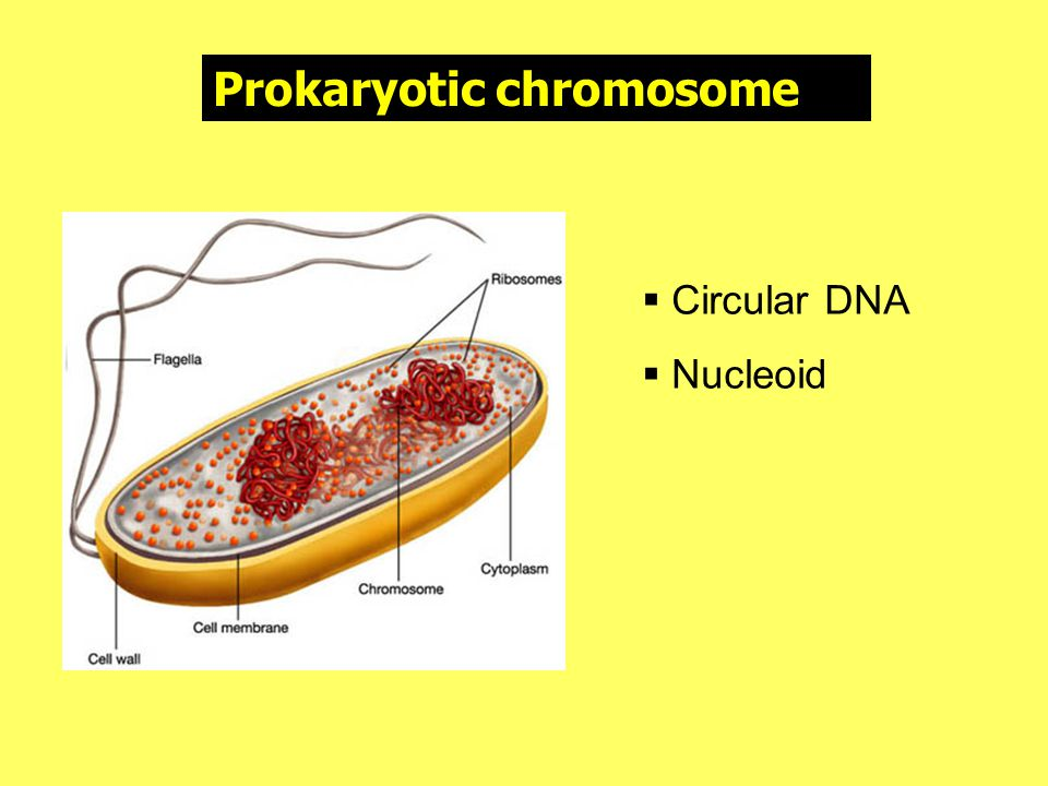 •Nucleosome แต่ละอันจะเชื่อมต่อกันคล้าย ลูกปัดบนเสันด้าย (bead on string) • ถ้านำนิวคลีโอโซมหลายๆอันมามัดรวมกัน จะมีลักษณะคล้ายเกลียวซึ่งเป็นส่วนของเส้น โครโมโซม • การนำโครโมโซมขนาดต่างๆ มาเรียงกัน เรียกว่า คารีโอไทป์ (karyotype) โดย จำแนกตามรูปร่างลักษณะ ขนาด และ ตำแหน่งของเซนโทรเมียร์ที่เหมือนกัน