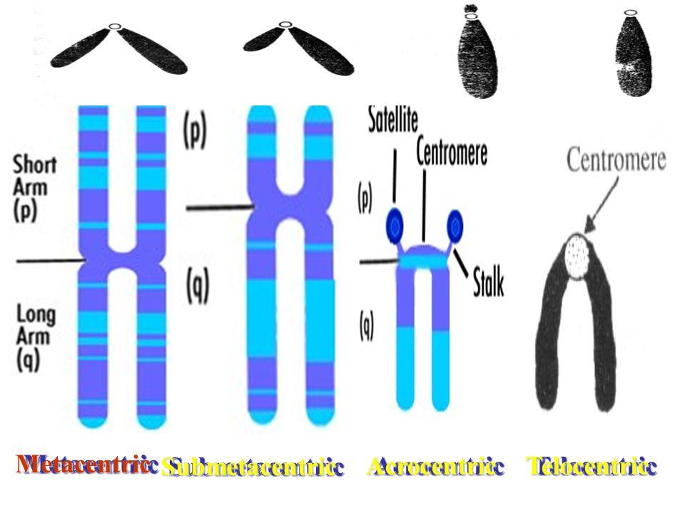 MetacentricMetacentric TelocentricTelocentricAcrocentricAcrocentric SubmetacentricSubmetacentric