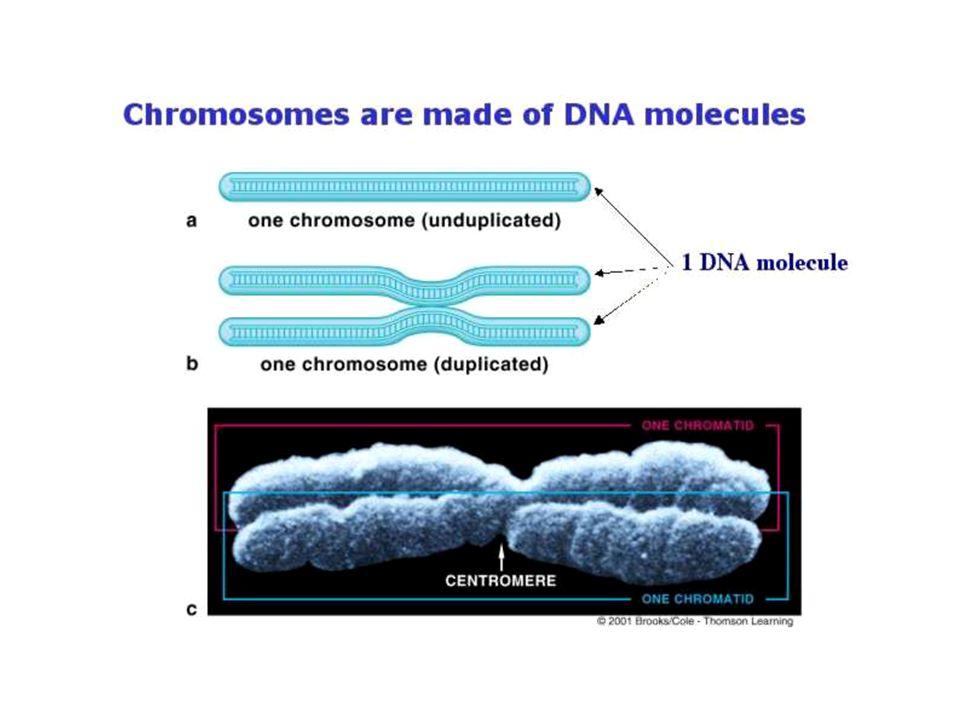 •โครโมโซมเป็นโครงสร้างที่อยู่ในนิวเคลียส ของเซลล์ •ในขณะที่เซลล์ไม่แบ่งตัวหรืออยู่ในระยะ อินเตอร์เฟส (Interphase) เราจะไม่เห็น โครโมโซมเนื่องจากโครโมโซมอยู่ใน ลักษณะเป็นเส้นใยเล็กๆสานกันอยู่ใน นิวเคลียส เส้นใยนี้เรียกว่า โครมาทิน (chromatin) •เมื่อเซลล์จะแบ่งตัว โครมาทินแต่ละเส้นจะ แบ่งจาก 1 เป็น 2 แล้วขดตัวสั้นเข้าและหนา ขึ้นจนมองเห็นเป็นแท่งในระยะโพรเฟส (prophase) และเมทาเฟส (metaphase) และเรียกชื่อใหม่ว่า โครโมโซม (chromosome)