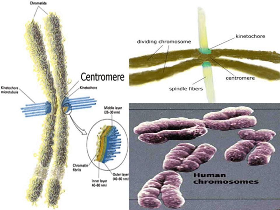 •ในระยะเริ่มต้นของวัฏจักรเซลล์คือระยะ interphase โครโมโซมจะไม่เห็นรูปร่างชัดเจน แต่เห็นเป็นโครมาติน •โปรตีนที่พบในโครมาตินของยูคาริโอท เรียกว่า ฮิสโตน (histone) มีมวลโมเลกุล ประมาณ 11-12 kd ประกอบด้วยกรดอะมิโน พวกที่เป็นเบสสูงคือ มีกรดอะมิโน arginine และ lysine ประมาณหนึ่งในสี่ของกรดอะมิ โนทั้งหมด