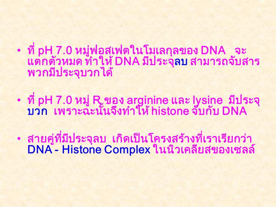 •ที่ pH 7.0 หมู่ฟอสเฟตในโมเลกุลของ DNA จะ แตกตัวหมด ทำให้ DNA มีประจุลบ สามารถจับสาร พวกมีประจุบวกได้ •ที่ pH 7.0 หมู่ R ของ arginine และ lysine มีประจุ บวก เพราะฉะนั้นจึงทำให้ histone จับกับ DNA •สายคู่ที่มีประจุลบ เกิดเป็นโครงสร้างที่เราเรียกว่า DNA - Histone Complex ในนิวเคลียสของเซลล์