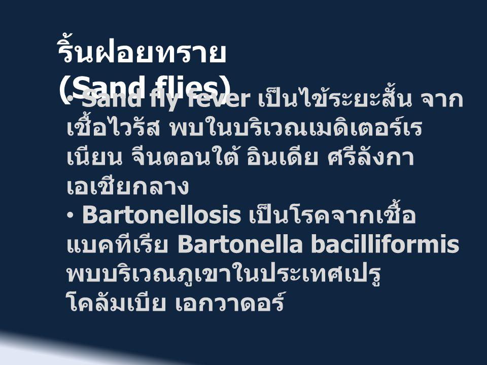 ริ้นฝอยทราย (Sand flies) • Sand fly fever เป็นไข้ระยะสั้น จาก เชื้อไวรัส พบในบริเวณเมดิเตอร์เร เนียน จีนตอนใต้ อินเดีย ศรีลังกา เอเชียกลาง • Bartonell