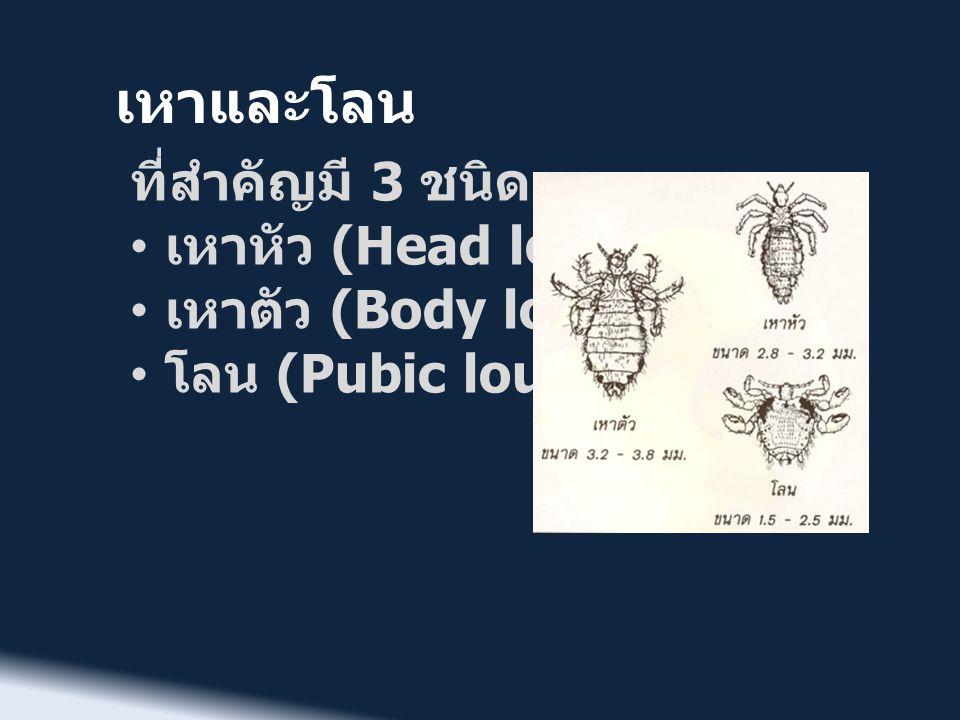 เหาและโลน ที่สำคัญมี 3 ชนิด • เหาหัว (Head louse) • เหาตัว (Body louse) • โลน (Pubic louse)