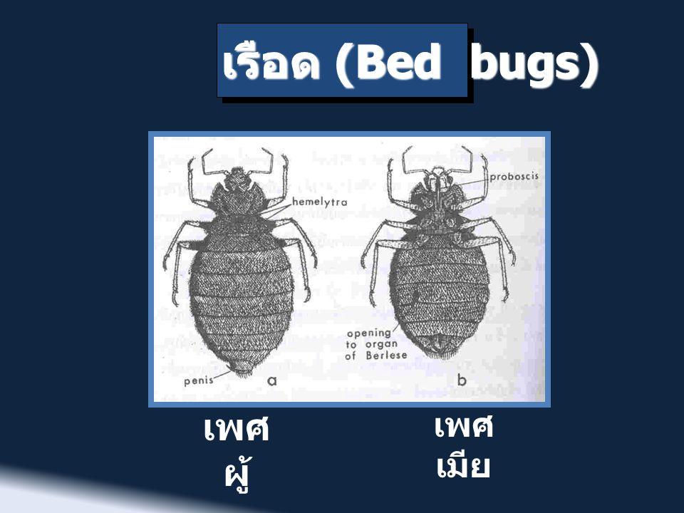 เรือด (Bed bugs) เพศ ผู้ เพศ เมีย