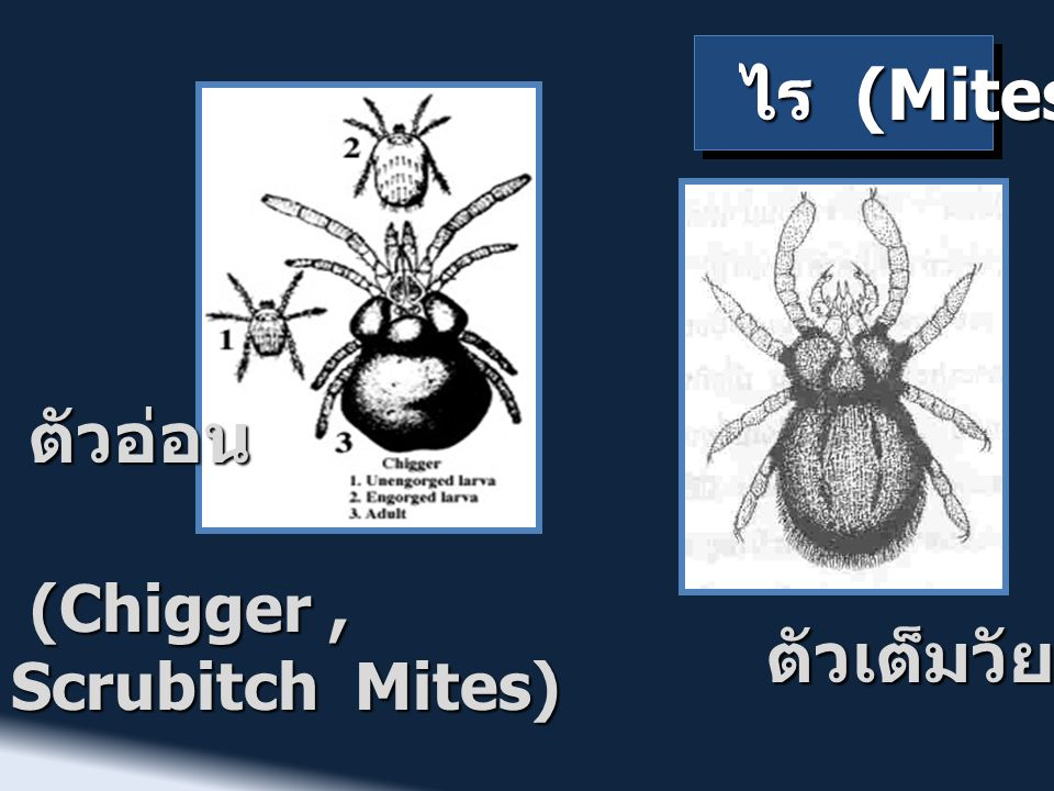 ไร (Mites) ตัวเต็มวัย (Chigger, Scrubitch Mites) (Chigger, Scrubitch Mites) ตัวอ่อน