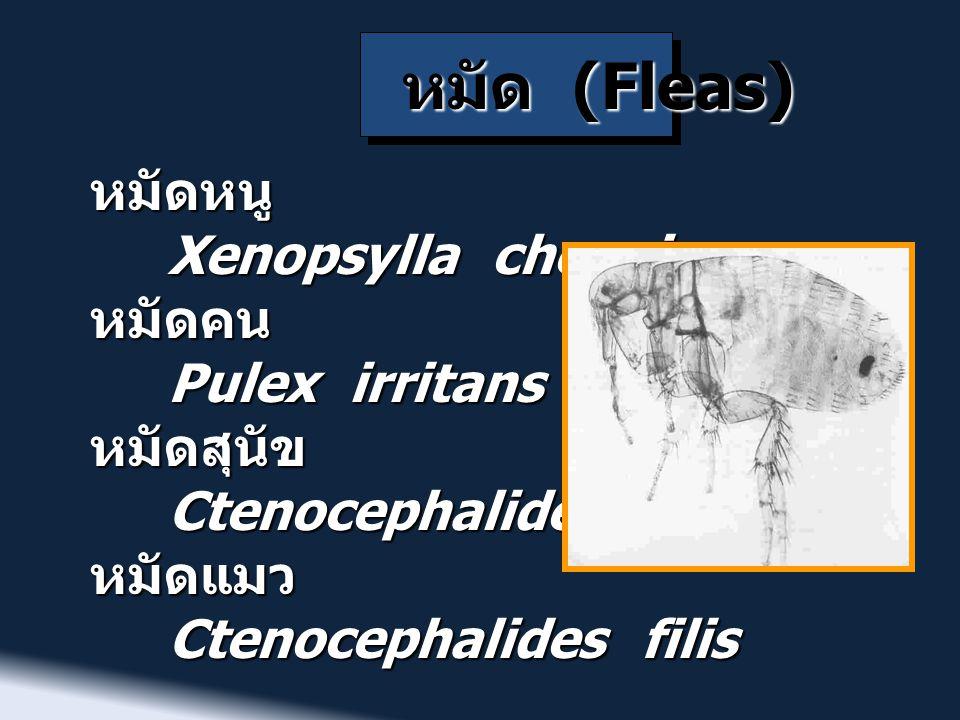 หมัด (Fleas) หมัดหนู Xenopsylla cheopis Xenopsylla cheopisหมัดคน Pulex irritans Pulex irritansหมัดสุนัข Ctenocephalides canis Ctenocephalides canisหมั