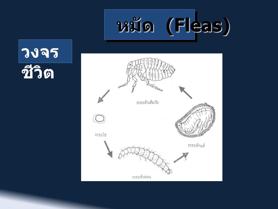 หมัด (Fleas) วงจร ชีวิต