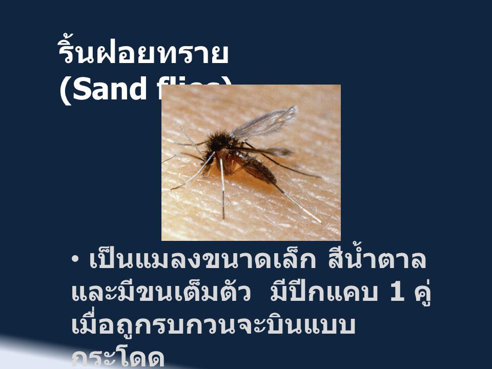 ริ้นฝอยทราย (Sand flies) • ชอบเกาะพักตามที่กำบัง มืด และชื้นแฉะ • ปกติกินน้ำเลี้ยงต้นไม้ และ น้ำหวาน • เฉพาะตัวเมียที่มีปากแทงดูด เลือดจากสัตว์ด้วย • ชอบหากินนอกบ้านเวลา กลางคืน