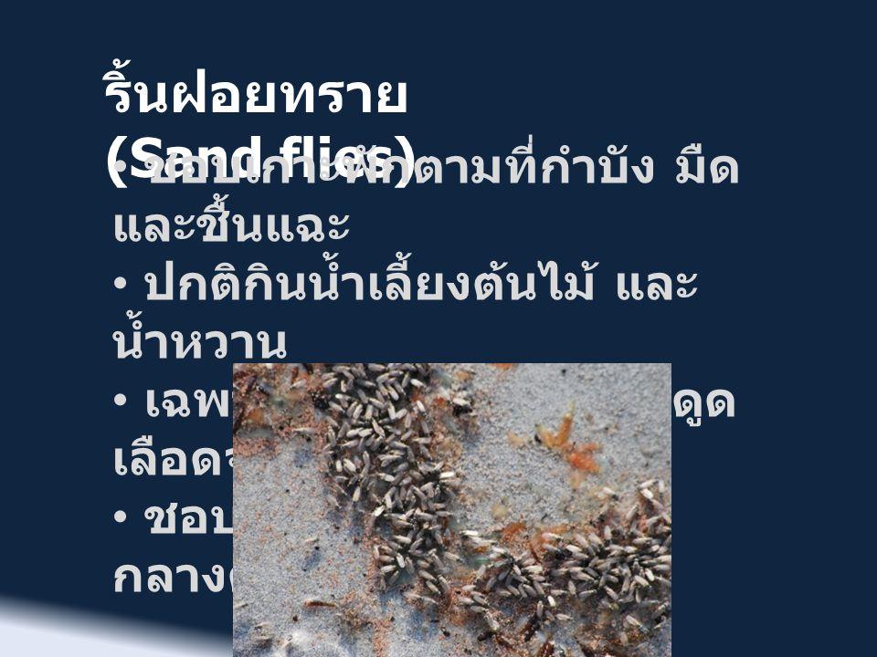 ริ้นฝอยทราย (Sand flies) • ชอบเกาะพักตามที่กำบัง มืด และชื้นแฉะ • ปกติกินน้ำเลี้ยงต้นไม้ และ น้ำหวาน • เฉพาะตัวเมียที่มีปากแทงดูด เลือดจากสัตว์ด้วย •