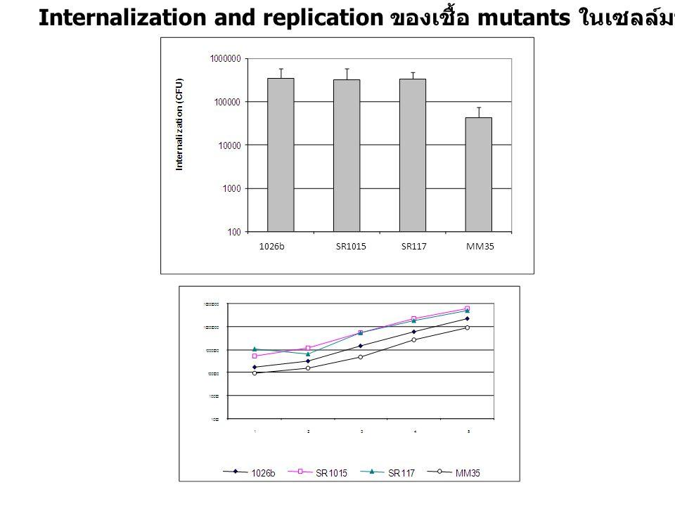 Internalization and replication ของเชื้อ mutants ในเซลล์มาโครฟาจของหนู (RAW 264.7) 1026b SR1015 SR117 MM35