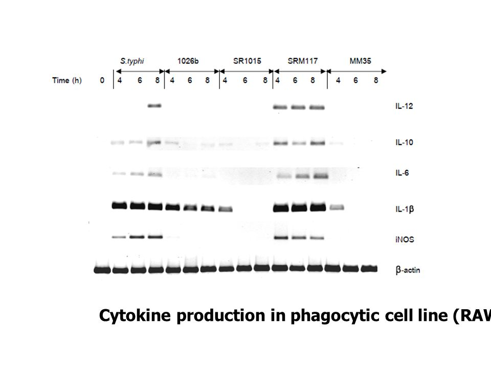 Cytokine production in phagocytic cell line (RAW 264.7)