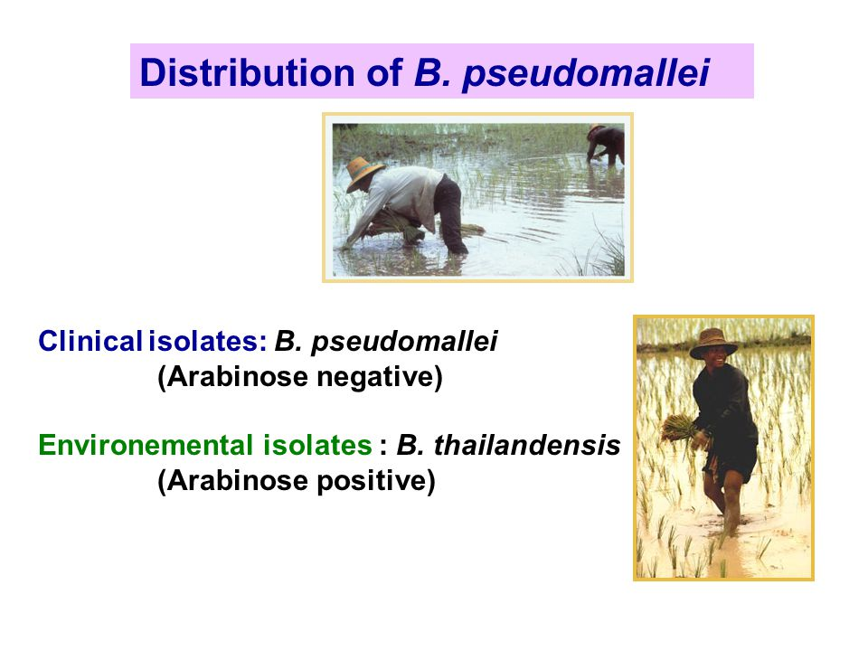 Distribution of B. pseudomallei Clinical isolates: B. pseudomallei (Arabinose negative) Environemental isolates : B. thailandensis (Arabinose positive