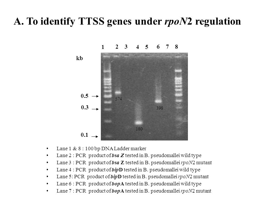A. To identify TTSS genes under rpoN2 regulation 0.3 0.5 kb 1 23 45 678 • Lane 1 & 8 : 100 bp DNA Ladder marker • Lane 2 : PCR product of bsa Z tested