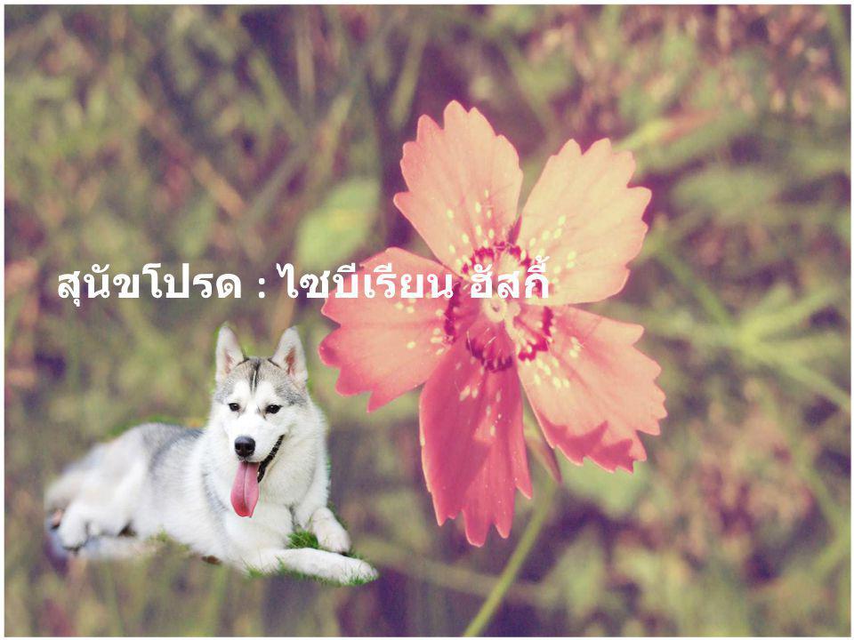 สุนัขโปรด : ไซบีเรียน ฮัสกี้
