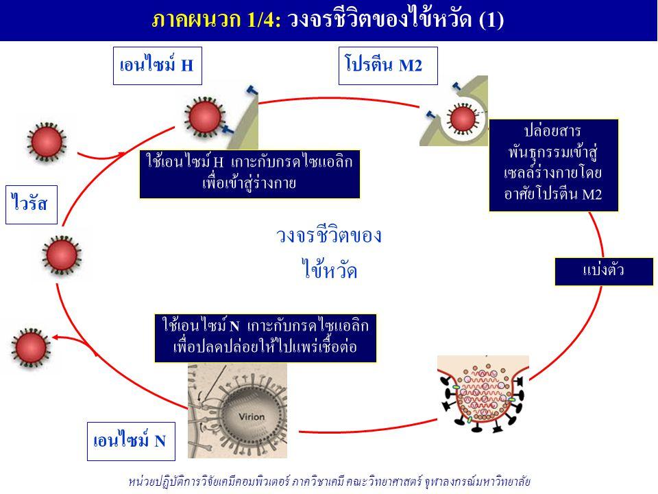 ภาคผนวก 1/4: วงจรชีวิตของไข้หวัด (1) ไวรัส วงจรชีวิตของ ไข้หวัด เอนไซม์ H ใช้เอนไซม์ H เกาะกับกรดไซแอลิก เพื่อเข้าสู่ร่างกาย โปรตีน M2 ปล่อยสาร พันธุกรรมเข้าสู่ เซลล์ร่างกายโดย อาศัยโปรตีน M2 แบ่งตัว เอนไซม์ N ใช้เอนไซม์ N เกาะกับกรดไซแอลิก เพื่อปลดปล่อยให้ไปแพร่เชื้อต่อ หน่วยปฏิบัติการวิจัยเคมีคอมพิวเตอร์ ภาควิชาเคมี คณะวิทยาศาสตร์ จุฬาลงกรณ์มหาวิทยาลัย