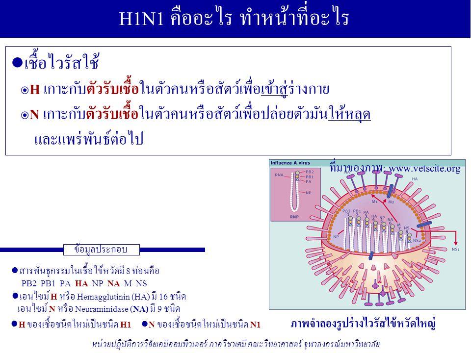 ● เอนไซม์ฮีแมกกลูตินิน: Hemagglutinin (H) ● เชื้อโรคเข้าสู่ร่างกายของสิ่งมีชีวิตได้อย่างไร ◊ ใช้ เอนไซม์ H1 เกาะกับตัวรับเชื้อของสิ่งมีชีวิต ● เชื้อโรคขยายพันธ์ได้อย่างไร รักษาด้วยยาอะไร ◊ มีหลายขั้นตอน แต่ที่คุ้นเคยและมียารักษาคือ ๏การ เชื่อม เข้าในเซลล์ของสิ่งมีชีวิตโดยอาศัย โปรตีน M2 รักษาด้วยยาอะมันทาดีนและรีมันทาดีน ● เอนไซม์นิวรามินิเดส: Neuraminidase (N) ● ยาทามิฟลู (Tamiflu) หรือ โอเซลทามิเวียร์ (Oseltamivir) ● ยาอะมันทาดีน (Amantadine) ● โปรตีนเอม 2 ชันแนล: M2 ๏การ ปล่อย หลุดจากเซลล์ของสิ่งมีชีวิตโดยอาศัย เอนไซม์ N รักษาด้วยยาทามิฟลู หรือ โอเซลทามิเวียร์ ● ยารีมันทาดีน (Rimantadine) ภาคผนวก 1/4: วงจรชีวิตของไข้หวัด (2) ข้อมูลประกอบ หน่วยปฏิบัติการวิจัยเคมีคอมพิวเตอร์ ภาควิชาเคมี คณะวิทยาศาสตร์ จุฬาลงกรณ์มหาวิทยาลัย