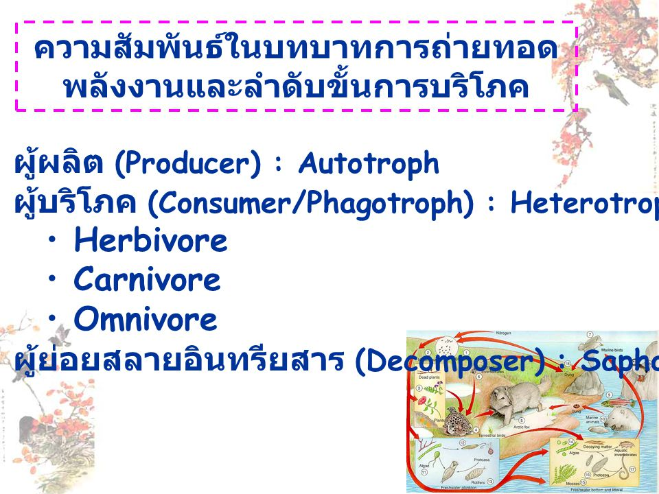 ความสัมพันธ์ในบทบาทการถ่ายทอด พลังงานและลำดับขั้นการบริโภค ผู้ผลิต (Producer) : Autotroph ผู้บริโภค (Consumer/Phagotroph) : Heterotroph • Herbivore •