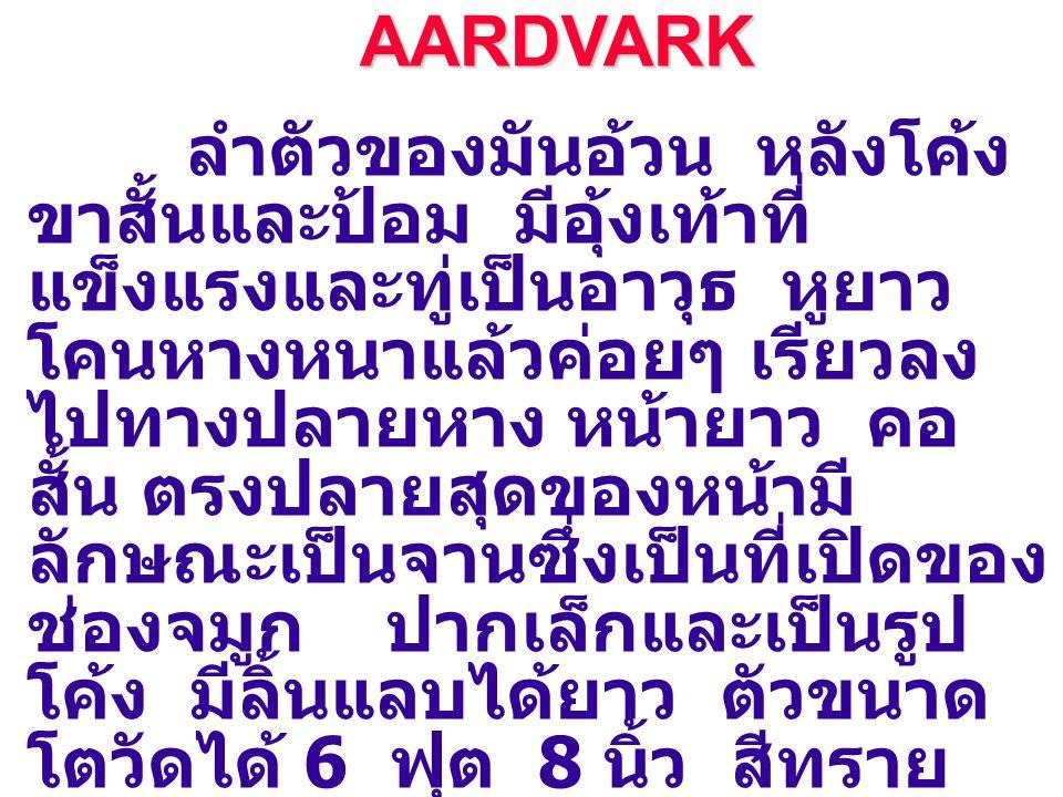 AARDVARK AARDVARK ลำตัวของมันอ้วน หลังโค้ง ขาสั้นและป้อม มีอุ้งเท้าที่ แข็งแรงและทู่เป็นอาวุธ หูยาว โคนหางหนาแล้วค่อยๆ เรียวลง ไปทางปลายหาง หน้ายาว คอ สั้น ตรงปลายสุดของหน้ามี ลักษณะเป็นจานซึ่งเป็นที่เปิดของ ช่องจมูก ปากเล็กและเป็นรูป โค้ง มีลิ้นแลบได้ยาว ตัวขนาด โตวัดได้ 6 ฟุต 8 นิ้ว สีทราย อ่อนหรือเหลือง ขนเกรียนจน มองเห็นผิวหนังของมันได้