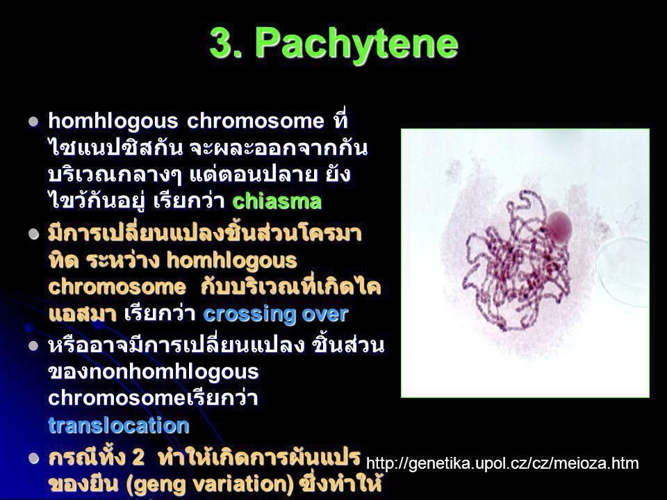 3. Pachytene  homhlogous chromosome ที่ ไซแนปซิสกัน จะผละออกจากกัน บริเวณกลางๆ แต่ตอนปลาย ยัง ไขว้กันอยู่ เรียกว่า chiasma  มีการเปลี่ยนแปลงชิ้นส่วน